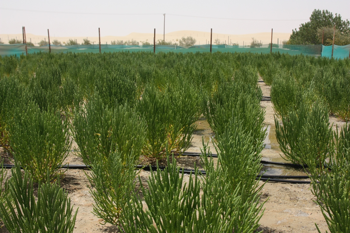 Fully grown Salicornia, a type of halophyte, with seeds ready to be harvested.JPG