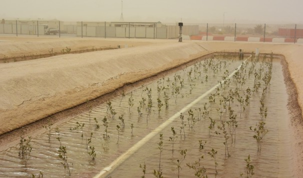 Young mangroves planted in the desert for SBRC's project to develop jet powering biofuel.JPG
