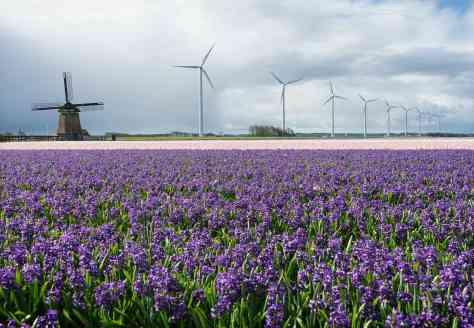 A 17th Century windmill stands near modern wind turbines in Sint Maartensbrug, Netherlands. Peter van Veldhoven